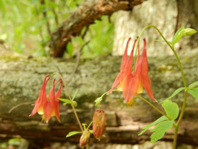 I love the Wild Honeysuckle